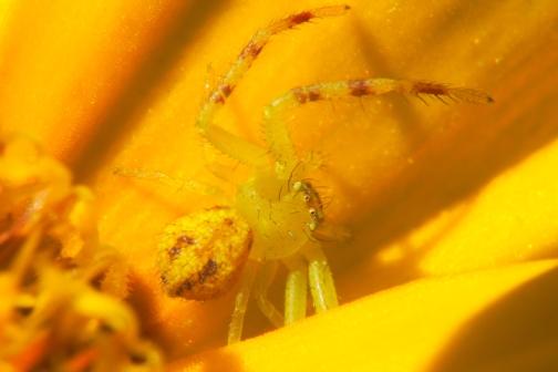 yellowCrabSpider