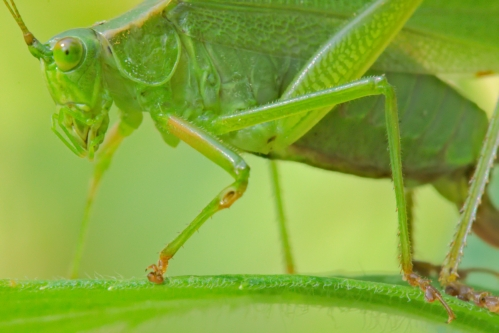 katydid-92