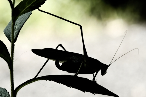 katydid-silouette